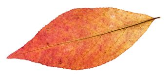 Back side of red leaf of willow tree isolated. On white background Stock Photography