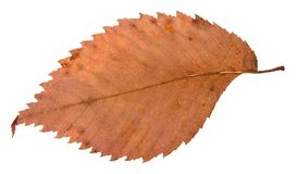 Back side of rotten dried red leaf of elm tree. Isolated on white background Stock Images