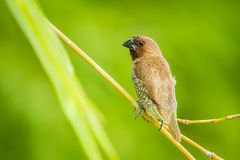 Back side of Scaly-breasted Munia Stock Images