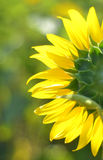 Back Side Sunflower Blossom. Royalty Free Stock Photos