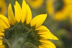 Back side of sunflower. Stock Photo