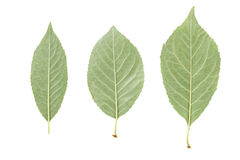 Back side of three green leaves from fruit trees isolated on white royalty free stock photos