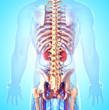 Back side view of male skeleton with kidneys. 3D art illustration of anatomy back side view of male skeleton with kidneys Stock Image