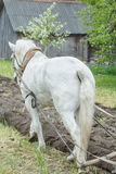 Back side view of white draft horse ploughing soil in spring farmland Royalty Free Stock Photos