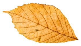 Back side of yellow autumn leaf of parthenocissus. Plant isolated on white background Stock Image