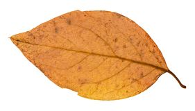 Back side of yellow autumn leaf of poplar tree. Isolated on white background Royalty Free Stock Photography