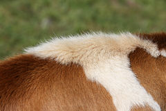 Back of a Simmental cow in Switzerland Royalty Free Stock Photos