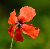 Back of singular red poppy Royalty Free Stock Image