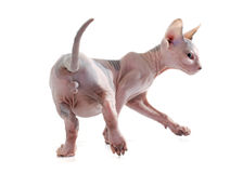 Back of Sphynx Hairless Cat Royalty Free Stock Photography