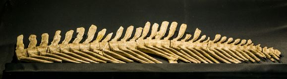 The back spine of a extinct mosasaurus lemonnieri, a aquatic lizard that lived during the cretaceous period in europe and America. Back spine of a extinct royalty free stock images