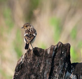 Back of Stonechat on burnt tree Royalty Free Stock Image