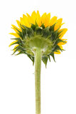 Back of sun flower Stock Images