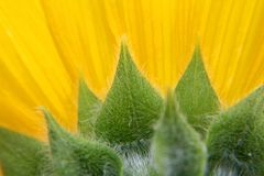 Back of sunflower petals and showing leaves. stock photo