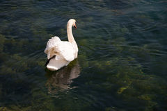 The back of a swan. In Luzern, Switzerland Stock Photos