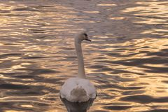 Back of a swan stock photo