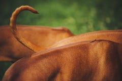 Back and tail of Rhodesian Ridgeback dog Stock Image