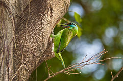 Back to the nest of five colors birds. A Beautiful five colors Barbet Biting the mantis outside Tree hole stock photos