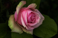 Back to pastel. Portrait of pastel rose after the rain on the garden Stock Image
