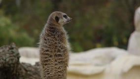 Back view of animal meerkat suricata suricatta stand sentry.