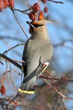 Back View of Bohemian Waxwing. A back view of a Bohemian Waxwing perched on a branch of a flowering crabapple tree in Littlefork, MN during winter Royalty Free Stock Photo