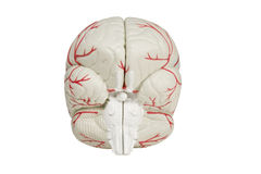 Back view brain model isolated. Back side view of human brain model isolated with clipping path at original size stock image