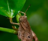 Back view of brown grasshopper hanging on tree branch stock image