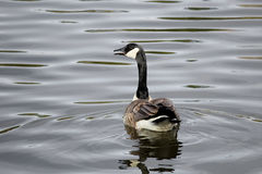 The back view of a Canada Goose swimming away stock images