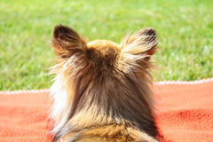 Back view of a chihuahua. Back view of a Beautiful purebred chihuahua head with long brown hair Royalty Free Stock Photos