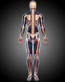 Back view of Circulatory system of male body. 3d art illustration of back view of Circulatory system of male body Stock Photography
