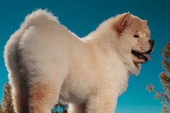 Back view of a cute chow chow puppy dog standing royalty free stock photo