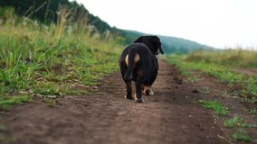 Back view of Dachshund the dog is walking along the road in nature slow motion video stock video footage