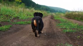 Back view of Dachshund the dog is walking along the road in nature slow motion video stock video