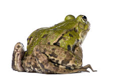 Back view of a Edible Frog - Rana esculenta Stock Photography