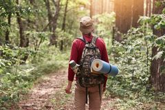 Back view of eldery hipster man wanderlust exploring forest with giant trees in National park on trip carrying backpack, senior. Male trekking during journey on royalty free stock images