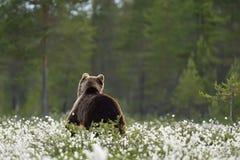 Back view of European Brown Bear Royalty Free Stock Image