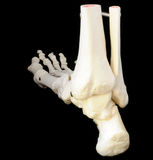 Back view of foot skeleton Stock Photos