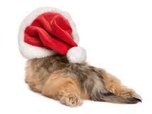Back view of a funny lying Christmas Havanese puppy dog Royalty Free Stock Photo