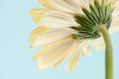 Back view gerbera Stock Image