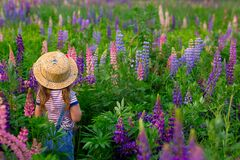 Free Back View. Girl In A Straw Hat In Denim Overalls Walks On A Flower Field With Lupins Royalty Free Stock Images - 187354959