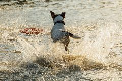 Dog running in water of sea Stock Photo