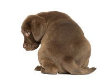 Back view of a Labrador Retriever Puppy sitting, 2 months old Stock Photo