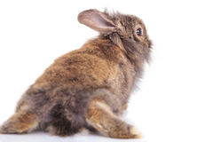 Back view of a lion head rabbit bunny lying Royalty Free Stock Photos