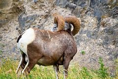The back view of a male bighorn sheep`s horns Royalty Free Stock Image