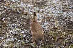 Back view european brown hare jackrabbit lepus europaeus in wi. Back view natural european brown hare jackrabbit lepus europaeus in winter Stock Photography