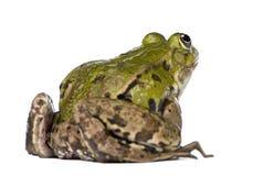 Back View Of A Edible Frog - Rana Esculenta Stock Photography