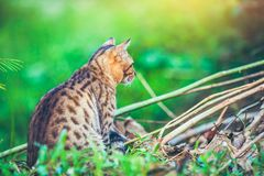 Bengal cat go hunting in forest. Outdoor with bright sunlight. Back view. Pretty bengal cat look for food and gaze on something in forest. Outdoor at daytime Royalty Free Stock Photos