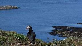 Puffin looking out to sea in puffin colony in Hebrides Royalty Free Stock Photography