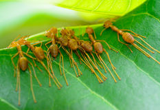Back view  of  red ant army are  buliding nest by use leaf Royalty Free Stock Image