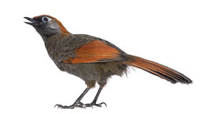 Back view on a Red-tailed Laughingthrush tweeting, looking up Stock Photo