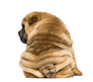 Back view of a Shar pei puppy sitting (11 weeks old) isolated on Stock Images